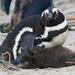 Pingüino de El Cabo - Photo (c) Don-Jean Léandri-Breton, todos los derechos reservados