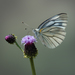 Asian Green-veined White - Photo (c) Sui Generis, all rights reserved