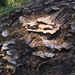 Trametes trogii - Photo (c) msv56, all rights reserved