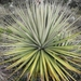 Puya goudotiana - Photo (c) María Isabel Henao, todos los derechos reservados