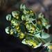 Woodland Spurge - Photo (c) Jay Keller, all rights reserved, uploaded by Jay L. Keller