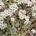 Sedum dasyphyllum - Photo (c) lovescinow, όλα τα δικαιώματα διατηρούνται