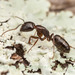 Smaller Carpenter Ant - Photo (c) Clarence Holmes, all rights reserved