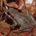 Chorus Frogs - Photo (c) naturalist54, all rights reserved, uploaded by Jeromi Hefner