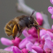 Anthophora villosula - Photo (c) treichard, כל הזכויות שמורות, uploaded by Timothy Reichard