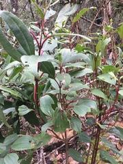 Image of Axinaea macrophylla