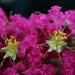 Crape-Myrtles - Photo (c) Lynnette, all rights reserved