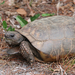 Gopher Tortoise - Photo (c) Arthur Windsor, all rights reserved