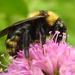 Field Cuckoo-Bumble Bee - Photo (c) christof huber, all rights reserved