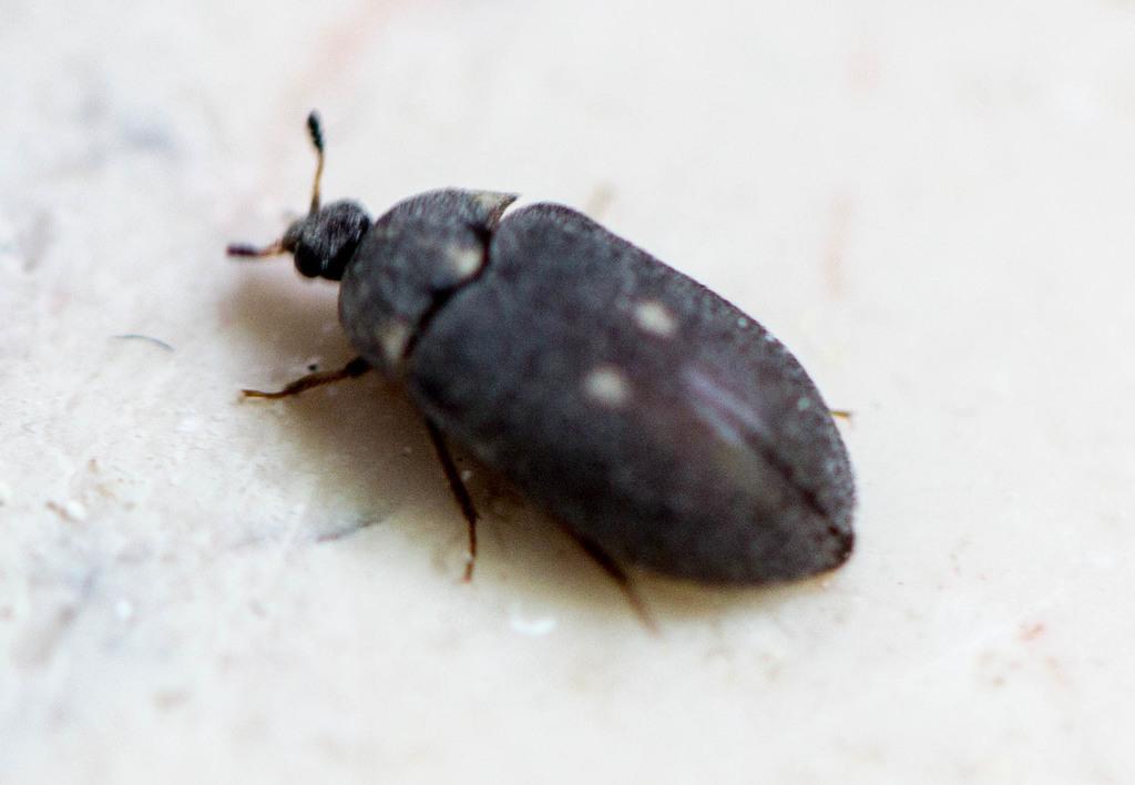 escarabajos Attagenus pellio