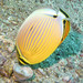 Redfin Butterflyfish - Photo (c) Lesley Clements, all rights reserved