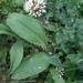 Allium microdictyon - Photo (c) Анастасия Харасова, כל הזכויות שמורות