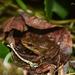 Colostethus dysprosium - Photo (c) Yojan Seawolf, todos los derechos reservados