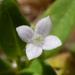 Old World Diamond Flower - Photo (c) Grayson Sasser, all rights reserved
