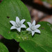 Mexican Clovers - Photo (c) Jim Duggan, some rights reserved (CC BY)