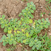 Coldenia procumbens - Photo (c) Ramesh Desai, כל הזכויות שמורות