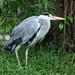 Grey Heron - Photo (c) pearmonger, all rights reserved