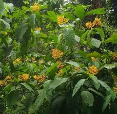 Palicourea guianensis image