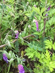 Image of Vicia cracca
