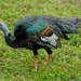Ocellated Turkey - Photo (c) Marc Faucher, all rights reserved