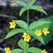 Whorled Loosestrife - Photo (c) BlueRidgeKitties, some rights reserved (CC BY-NC-SA)