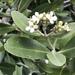 Avicennia germinans - Photo (c) strgzzr, όλα τα δικαιώματα διατηρούνται