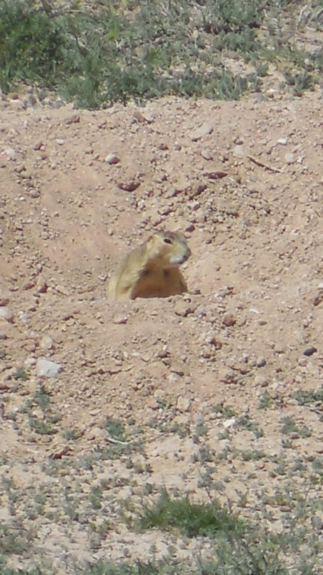 gunnison's prairie dogs - HD1080×1920