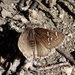 Nevada Cloudywing - Photo (c) Rick Wachs, all rights reserved