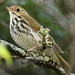 Ovenbird - Photo (c) David Chernack, all rights reserved