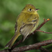 Empidonax Flycatchers - Photo (c) Mdf, some rights reserved (CC BY-SA)