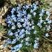 Eritrichium howardii - Photo (c) Elin Pierce, todos los derechos reservados