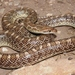 Glossy Snakes - Photo (c) Michael Price, some rights reserved (CC BY-NC-ND)