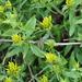 Chrysothamnus viscidiflorus latifolius - Photo (c) Elin Pierce, todos los derechos reservados