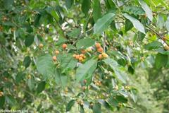 Bunchosia nitida image