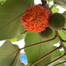 Paper Mulberry - Photo (c) Chiang Daisy, all rights reserved