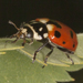 Casey's Lady Beetle - Photo (c) Brad Smith, all rights reserved