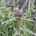 Fringed Thistle - Photo (c) Cory Orwig, all rights reserved
