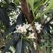 Lophostemon confertus - Photo (c) Kraft Paper, todos los derechos reservados