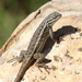 Plateau Fence Lizard - Photo (c) Jay Keller, all rights reserved, uploaded by Jay L. Keller
