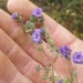 Distant Phacelia - Photo (c) Adam Taylor, all rights reserved