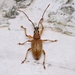Myllocerus variabilis - Photo (c) WonGun Kim, all rights reserved