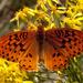 Speyeria cybele leto - Photo (c) Brad Smith, todos los derechos reservados