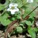 Nama biflora - Photo (c) Lex García, all rights reserved