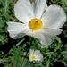 Argemone grandiflora armata - Photo (c) Lex García, todos los derechos reservados