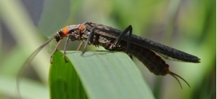 Salmonfly (Selected Aquatic Insects of Oregon) · iNaturalist org