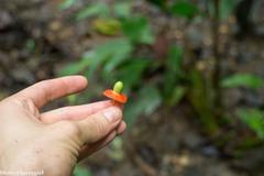 Heisteria acuminata image