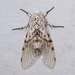 Polilla Leopardo - Photo (c) Joseph C, todos los derechos reservados