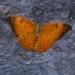 Cirrochroa thais - Photo (c) Prashant Hulamani, todos los derechos reservados
