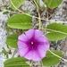 Bejuco de Mar - Photo (c) kendraflynn, todos los derechos reservados