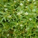"""Green Carpetweed - Photo (c) Laura """"Lulu"""" Bunton, all rights reserved"""